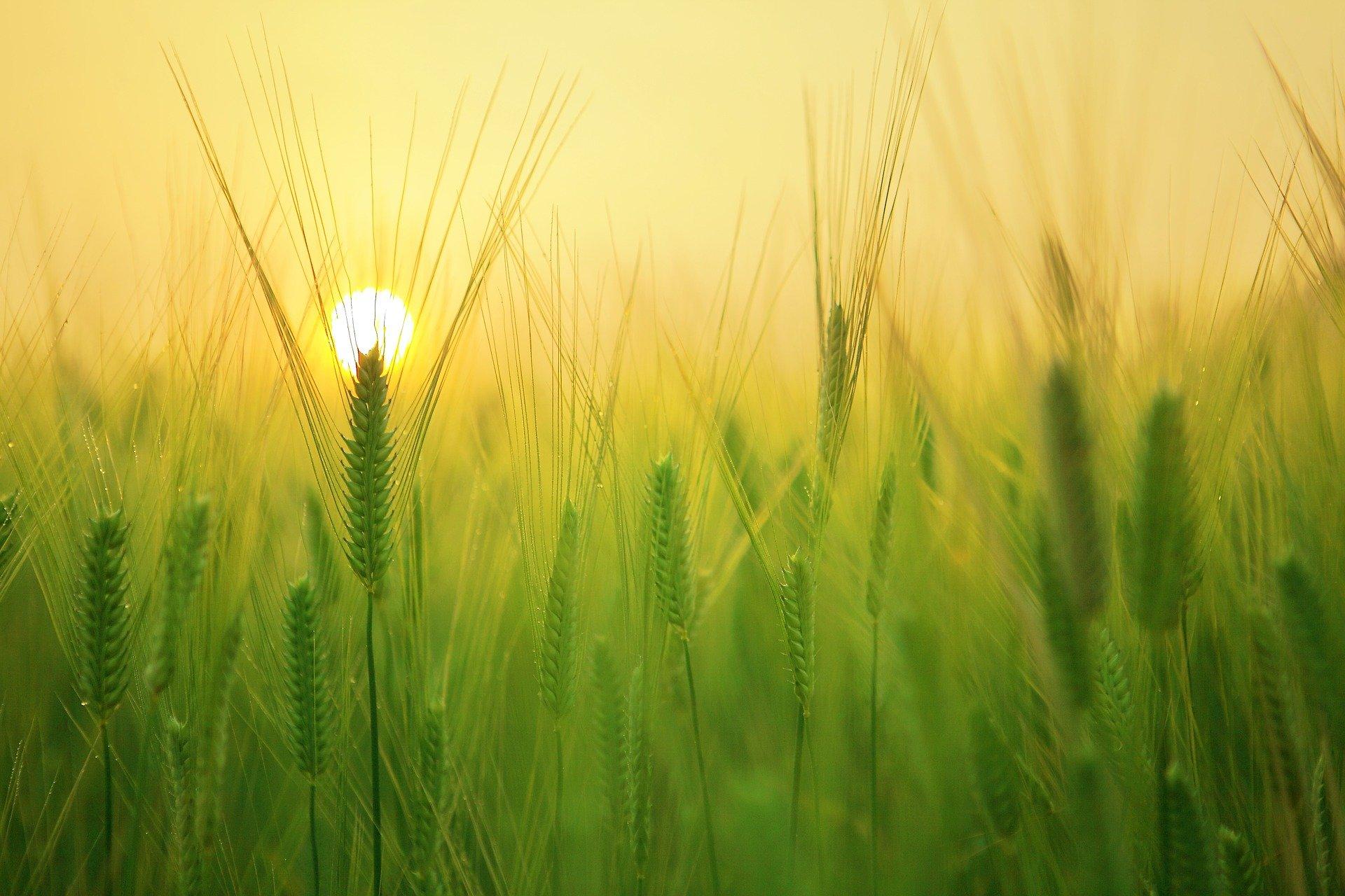 Pénurie de blé dur : augmentation des prix